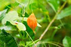 Balsam apple  on tree Royalty Free Stock Photography