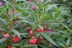 balsam Balsaminaceae impatiens Canteiro de flores da casa Flores delicadas cor-de-rosa fotografia de stock