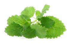 balsam cytryny white Zdjęcie Stock
