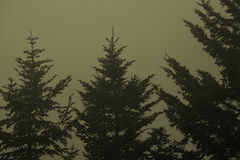 Balsam drzewa Obraz Royalty Free