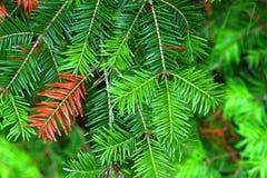 Balsam Fir (Abies balsamea) Needles Royalty Free Stock Images