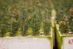 Balsam Fir seedlings Stock Photos