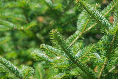 Balsam Fir tree tips Stock Image