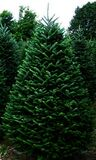 Balsam Firs Royalty Free Stock Images