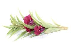 Balsam Royalty Free Stock Photo