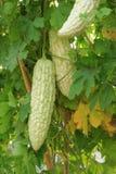 Balsam pear Stock Photos