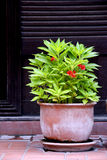 Balsam Plant in Clay Flowerpot. The balsam plant in clay flowerpot stock photos