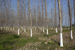 Balsam poplar plantation Royalty Free Stock Photos