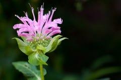 balsam pszczoła Zdjęcia Royalty Free