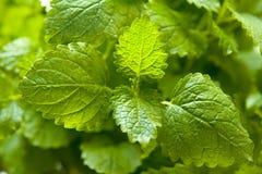 balsam roślina Obraz Stock