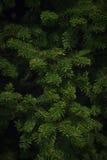 Balsam Spruce Christmas Tree Royalty Free Stock Photo