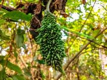 Balsamapfel, der von einem Baum hängt lizenzfreies stockfoto