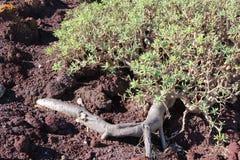 Balsamifera d'euphorbe d'usine d'euphorbe s'élevant sur la terre pierreuse rouge d'origine volcanique images stock