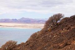 balsamifera kanarowe euforbii wyspy Obrazy Stock