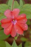 Balsamina red flower Stock Images