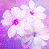 Balsamine flower. Balsamine - stylized floral picture with texture Royalty Free Stock Photo