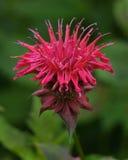 Balsamo di ape, un fiore commestibile Fotografia Stock Libera da Diritti