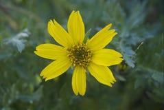 Balsamorhiza hookeri. Or hooker`s balsamroot Royalty Free Stock Photography