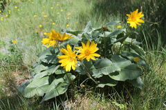 Balsamorhiza sagittata. A North American species of flowering plant in the sunflower tribe of the aster family known by the common name arrowleaf balsamroot. It Royalty Free Stock Image