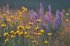 Balsamorhiza y Lupine, luz de oro de la hora, colinas del cielo del caballo, Washington del este Fotos de archivo