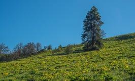 Balsamroot野花山坡在中央俄勒冈 库存图片