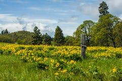 Balsamroot łąka w kwiacie z żółtymi kwiatami Zdjęcia Stock