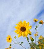 Balsamroot, Balsamorhiza a genus of plants in the sunflower family Royalty Free Stock Image