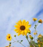 Balsamroot, Balsamorhiza un genre des usines dans la famille de tournesol Image libre de droits