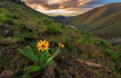 Balsamroot blomma på soluppgång, Washington State Arkivfoton