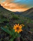 Balsamroot-Blume bei Sonnenaufgang, Washington State Stockfoto