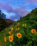Balsamroot-Blumen, Washington State Lizenzfreies Stockbild