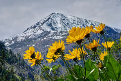 Balsamroot d'Arrowleaf en montagnes de cascade photos libres de droits