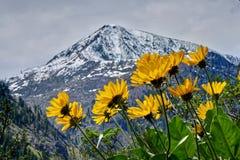 Balsamroot de Arrowleaf en montañas de la cascada fotos de archivo libres de regalías