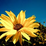 Balsamroot in der Blüte Stockfotografie
