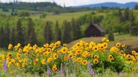 Balsamroot et printemps de loup de Wildflowers dans Maryhill WA clips vidéos