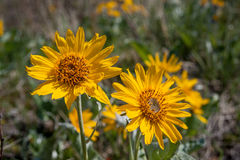 Balsamroot flowers closeup Stock Photography