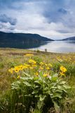Balsamroot flowers and Okanagan Lake near Kelowna, British Columbia. Canada Stock Photos