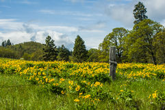 Balsamroot meadow in bloom with yellow flowers Stock Photos