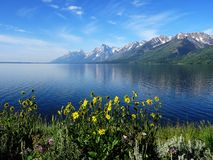 Balsamroot wildflowers in front of the Rocky Mountains and Jackson Lake Stock Images