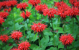 balsamu pszczoły czerwień Fotografia Stock