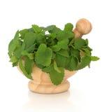 balsamu ziele cytryna Obrazy Stock