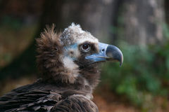 Balt vulture Stock Photography