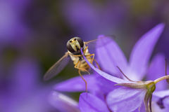 Balteatus de Hoverfly Episyrphus de la mermelada Fotos de archivo