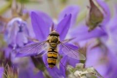 Balteatus de Hoverfly Episyrphus de la mermelada Imagenes de archivo
