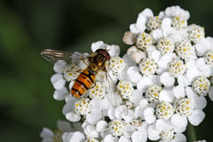 Balteatus Episyrphus, муха Syrphid на цветени тысячелистника обыкновенного Стоковые Фотографии RF