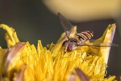 Balteatus van marmeladehoverfly Episyrphus Royalty-vrije Stock Afbeeldingen