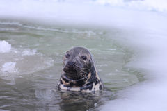 Baltic grey seal Stock Photography