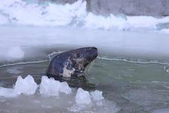 Baltic grey seal Stock Photos