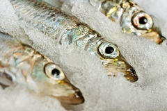 Baltic herring. Stock Images