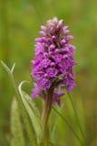 Baltic Marsh-orchid, Dactylorhiza baltica Stock Photo